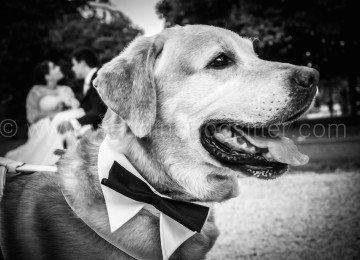 LABRADOR AL MATRIMONIO CON WEDDING DOG SITTER