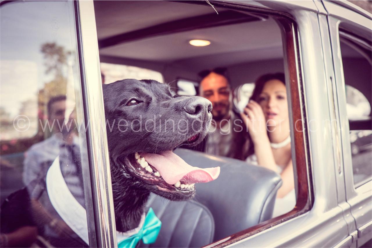 Al Matrimonio In Nero : Jack bellissimo labrador nero al matrimonio con wedding