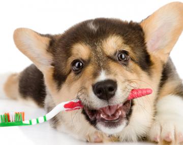 pulire i denti al cane pulizia dei denti del cane