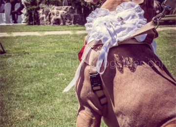 Insegnare e addestrare il cane paggetto a portare le fedi con Wedding Dog Sitter