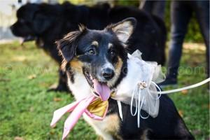 addestramento cane portare le fedi al matrimonio