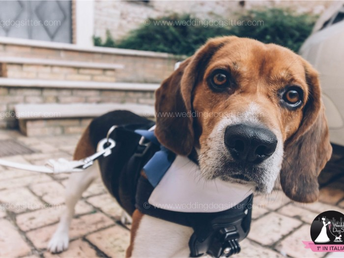 BEAGLE AL MATRIMONIO CON Wedding Dog Sitter A TORINO