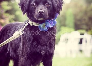 Wedding Dog Sitter CUNEO CANE AL MATRIMONIO PIEMONTE