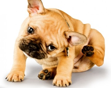 itchy-puppy-bulldog