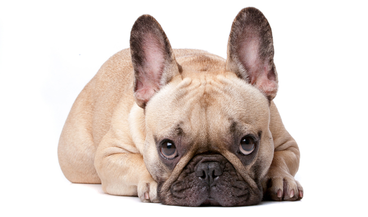 frenchie_730x430